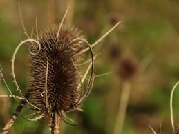 Trockener Blütenstand der wilden Karde...