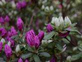 Azalee weiß und pink