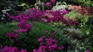 Azaleen in voller Blüte