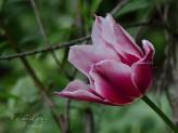 Eine der letzten Tulpen...